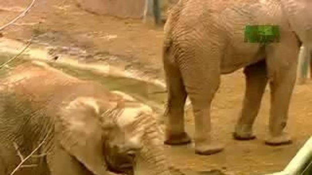 เจ้าช้างตัวน้อย น่าสงสารมาก!!