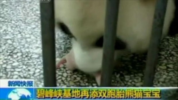ลูกหมีเกิดใหม่ที่จีน น่ารักโฮก!!
