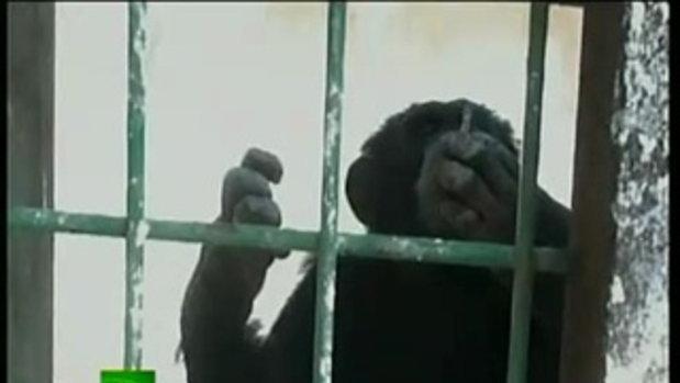 Wow! ลิงชิมแปนซี สูบบุหรี่