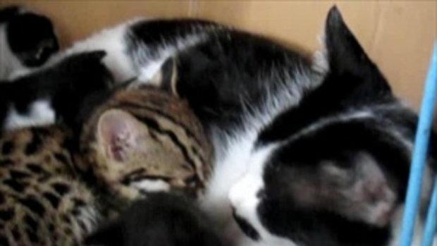เสือกินนมแมว