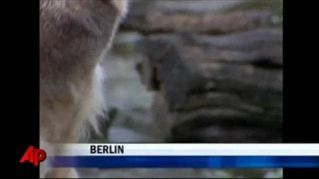 คนุต หมีขั้วโลกที่เบอร์ลิน ตายแล้ว
