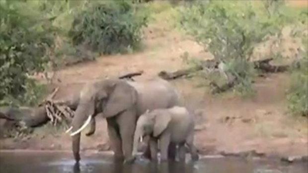 วินาที! พ่อช้างถูกจระเข้กัดงวงสู้น้ำกระจาย