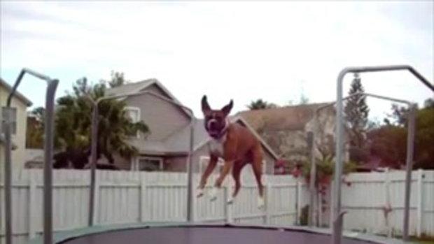 น้องหมา เล่นแทมโพลีน