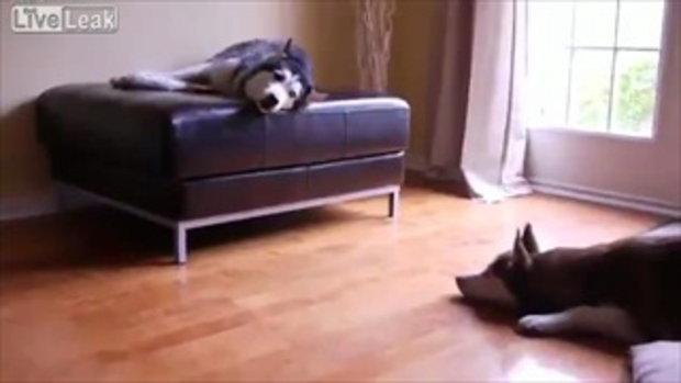 หมาพันธุ์ไซบีเรียน 2 ตัวคุยกัน น่ารักเชียว