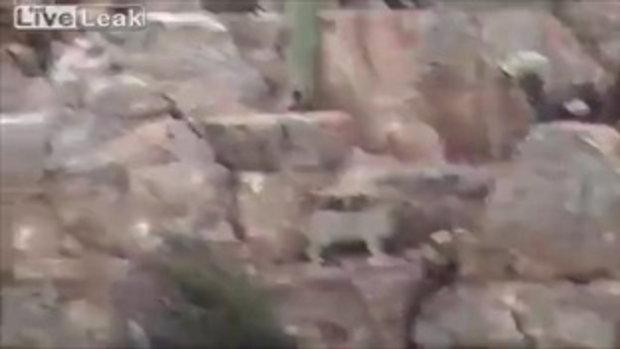 ฝูงสุนัขโคตรดุ ไล่เห่าสิงโตภูเขา