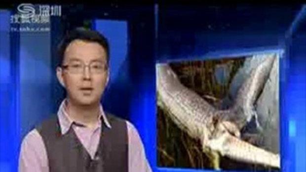 แกะรอยงูหลามยักษ์ เขมือบจระเข้จนตายทั้งคู่