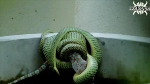 เขมือบทั้งตัว!!! งูกินตุ๊กแก