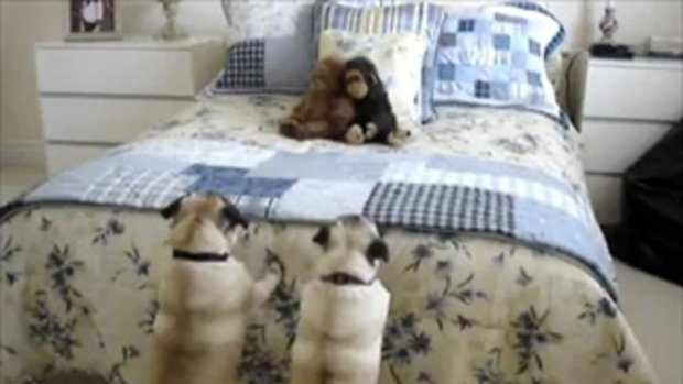 Pugs frightened by Monkey  ^^