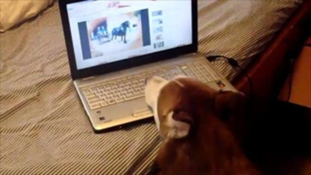 Siberian Husky watches youtube videos by sia.co.th