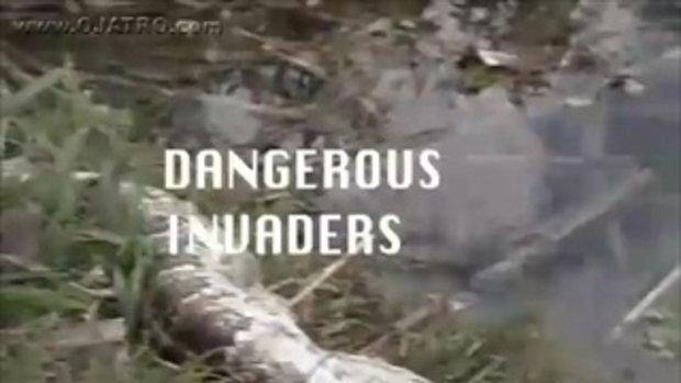 เสียว! งูกินจระเข้ แต่จระเข้กัดท้องงูออกมา