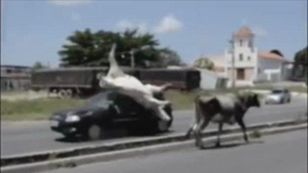 วัวโดน รถชนตีลังกา