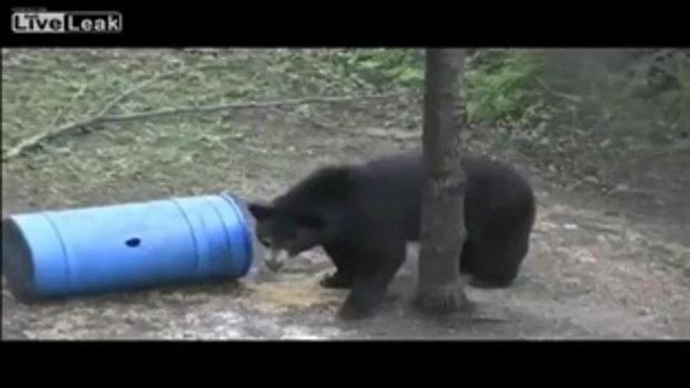 หมีดำโผล่จ๊ะเอ๋! อยู่บนต้นไม้ก็ไม่ได้หมายความว่าคุณจะปลอดภัย