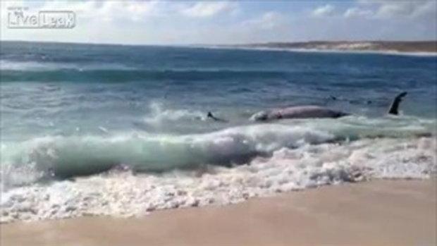 ฉลาม จัดงานเลี้ยงริมหาด รุมทึ้งปลาวาฬ