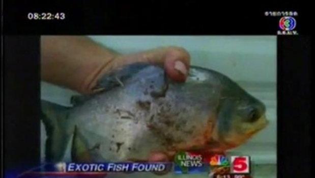 ปลาชอบกัดกินอัณฑะของมนุษย์