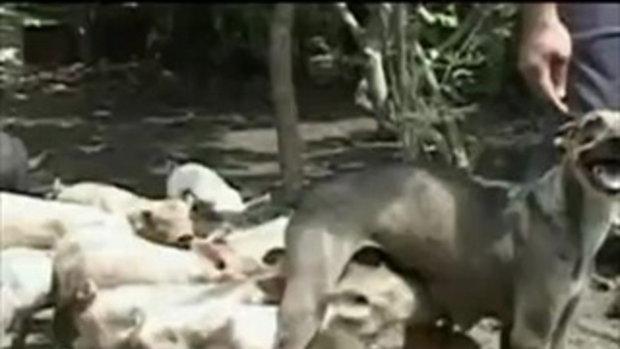 ไม่ธรรมดา แม่หมาเลี้ยงลูกหมูเป็นคอก