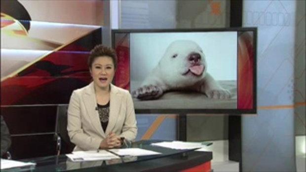 ความน่ารักของ ชิกุ ลูกหมีขั้วโลก