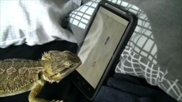 Bearded Dragon playing Ant Crusher   by  sia.co.th
