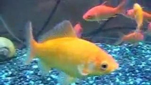 ปิรันย่ากินปลาทอง