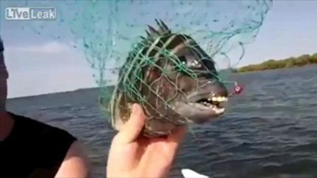 ใครฟันสวยกว่ากัน! ปลาไรหว่ามีฟันยังกับคน