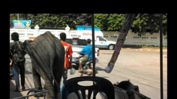 ช้างเร่ร่อน ภาคอีสานงานเทศกาลไหลเรือไฟ ธาตุพนมและจังหวัดนครพนม