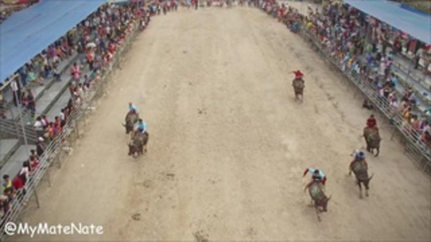 ประเพณีวิ่งควาย | Buffalo Racing in 4K!
