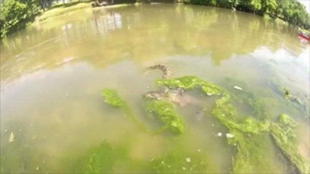 นาทีชีวิต คลิปงูเล่นใหญ่เขมือบปลาในน้ำ แม้ตัวใหญ่กว่ามันถึง 3 เท่า