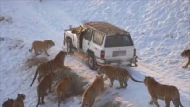 คนเกือบโดนเสือทั้งฝูงกิน!!!!