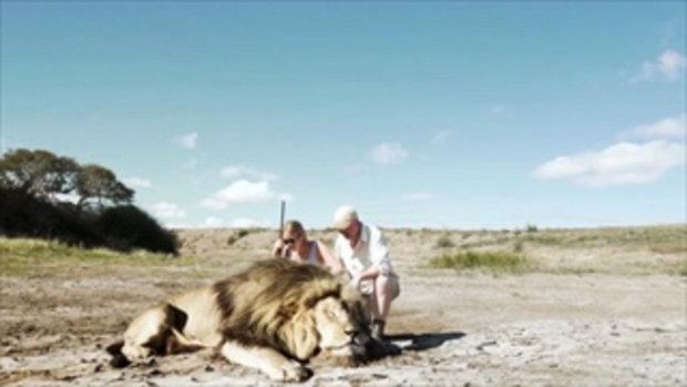 คลิปสิงโตทวงแค้นนายพรานหลังเพื่อนโดนล่าตาย ชาวเน็ตถกสนั่น จริงหรือเฟค