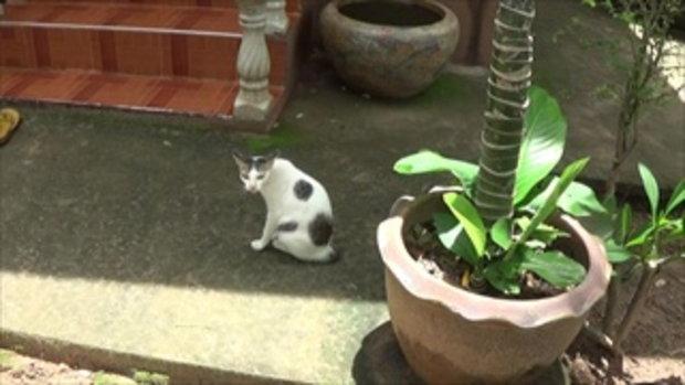 แปลกแต่จริง แมวประหลาด ต้องดูดนมเจ้าอาวาสวัด