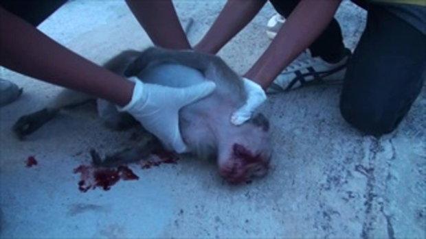 สะเทือนใจ ปิกอัพชนลูกลิงหลงฝูง ตายต่อหน้าต่อหน้าชาวบ้าน