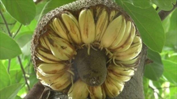 ชาวบ้านตะลึง! ขนุนออกผลคล้ายกล้วย แห่แชร์ว่อนโซเชียลฯ