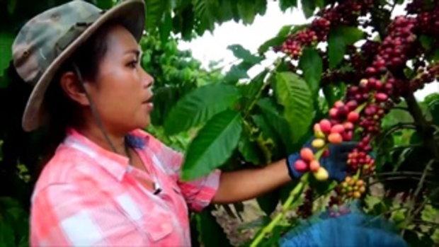 กบนอกกะลา : โรบัสต้า หอมกรุ่นจากฟาร์ม สู่แก้วกาแฟของคุณ ช่วงที่ 3/4 (20 ก.พ.58)