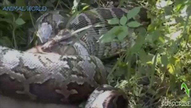 การโจมตีของสัตว์ป่าที่น่าตื่นตาตื่นใจที่สุด อนาคอนด้ายักษ์เขมือบสนัขตัวเป็นๆ - Animal attacks (HD)