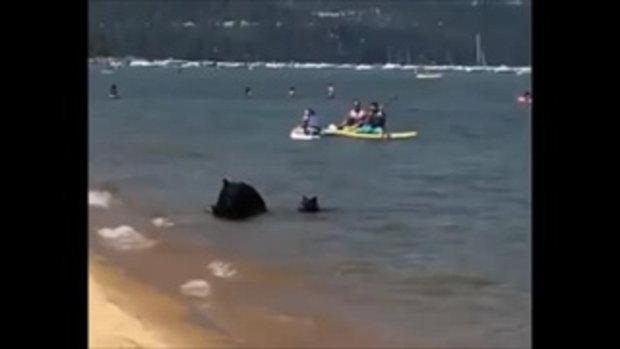 นักท่องเที่ยวตะลึง ครอบครัวหมีออกจากป่ามาเล่นน้ำ ชุ่มฉ่ำกันใหญ่เลย