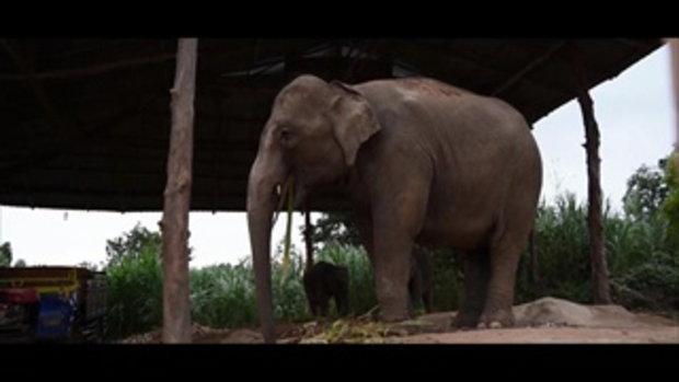 คนมันส์พันธุ์อาสา : ภารกิจปลูกพืชอาหารและสร้างป่าให้ช้าง จ.สุรินทร์ ช่วงที่ 1/4 (13 ส.ค.59)