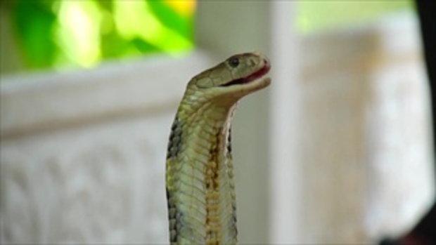 คลิปอ๊อด อ๊อด : งูมีพิษแต่ละชนิด มีอะไรบ้าง ??