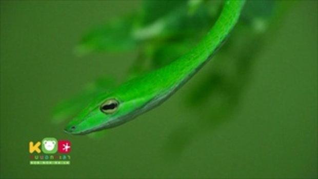 คลิปอ๊อด อ๊อด : งูไม่มีพิษแต่ละชนิด