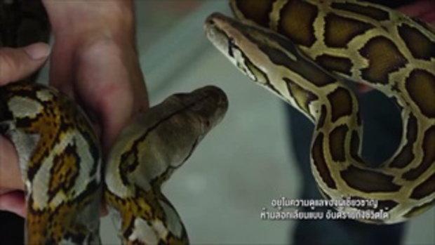 คลิปอ๊อด อ๊อด : ความแตกต่างของงูเหลือมงูหลาม