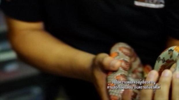 คลิปอ๊อด อ๊อด : การเพาะเลี้ยงงูสีสายพันธุ์ต่างๆเขตอบอุ่น