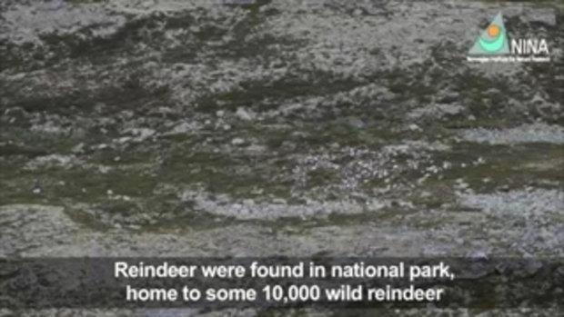 ฟ้าผ่ากวางเรนเดียร์ตายกว่า 300 ตัว ที่นอร์เวย์