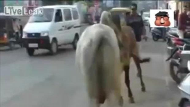 วัวดุ! ชนกันกลางถนน สุดท้ายทำคนไม่รู้อิโหน่อิเหน่ บาดเจ็บสาหัส
