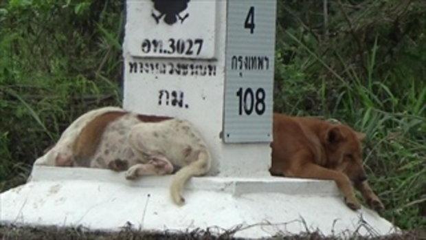 อ่างทองไม่พลาด หมา 3 ตัวนอนเฝ้าหลักกิโลฯ เหมือนใบ้บางอย่าง