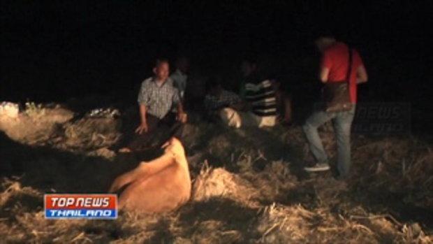เร่งล่าฆาตกรอำมหิต!! วางยาฆ่าวัวตายยกฝูงเกือบ 20 ตัว มูลค่าความเสียหายกว่า 500,000 บาท