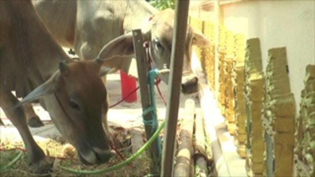 วัวแม่ลูก หนีโรงฆ่าสัตว์เตลิดเข้าวัด คนแห่บริจาคช่วยไถ่ชีวิต