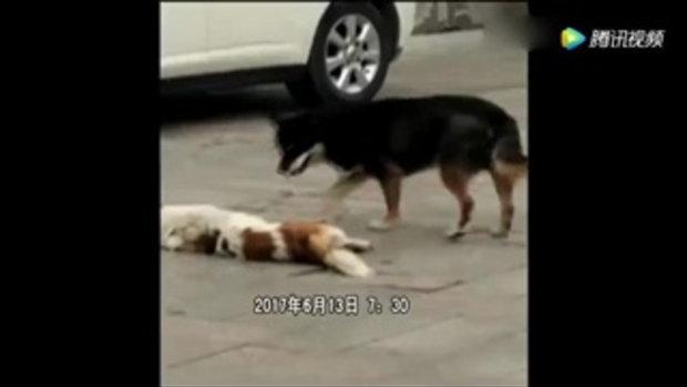 สะเทือนใจ! น้องหมาพยายามลาก-ปลุกเพื่อนหลังถูกรถชนตาย