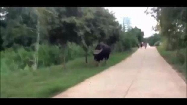 ชีวิตสัมพันธ์ !! ชาววังน้ำเขียวช่วยต้อนกระทิงหนุ่มคืนป่า หลังลงมาเดินในหมู่บ้าน
