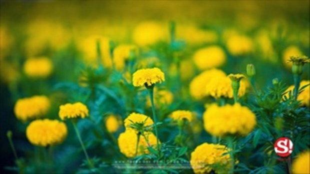 ชมทุ่งดอกดาวเรืองกว่า 450,000 ต้น ถวายเป็นราชสักการะแด่ในหลวงรัชกาลที่ ๙