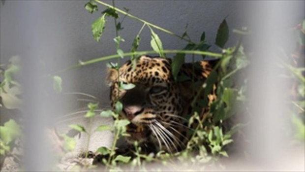2 เสือดาวเชียงใหม่ที่ถูกแอบเลี้ยง หมดโอกาสกลับเข้าป่า