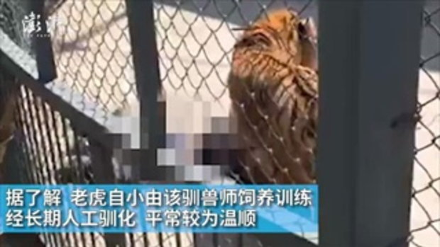 เสือในสวนสัตว์เมืองจีน ขย้ำคนดูแลดับสยอง ต่อหน้านักท่องเที่ยว