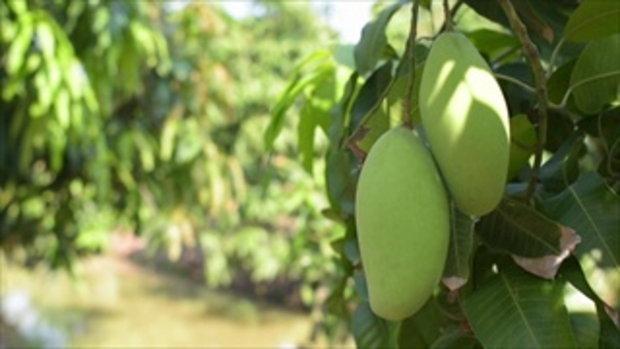กบนอกกะลา : Mango season เปรี้ยว หวาน มัน กรอบ Full (17 พ.ค.61)